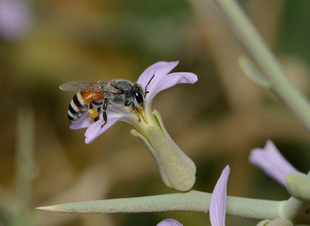 コミツバチ