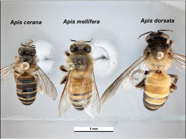 ミツバチの種類標本