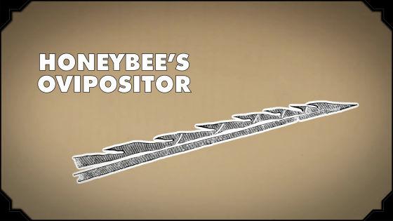ミツバチの針の拡大図