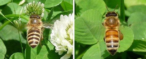 ニホンミツバチとセイヨウミツバチの身体の違い(写真)
