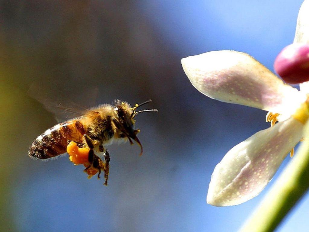 花粉かごに花粉がたくさんついたミツバチ