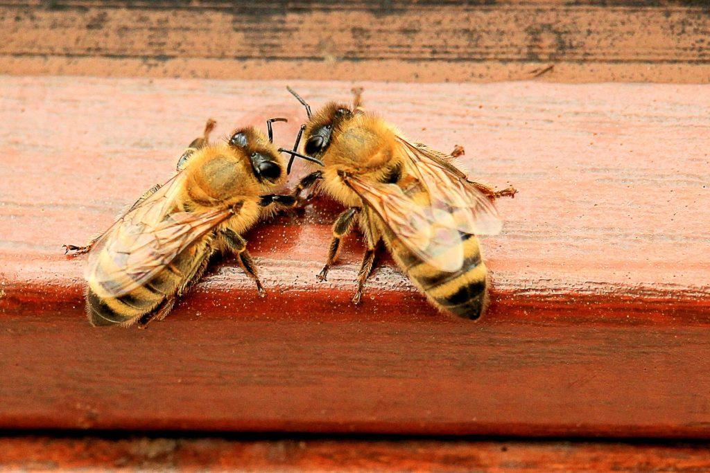 ミツバチの働きバチ