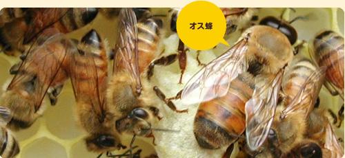 雄バチと働きバチ