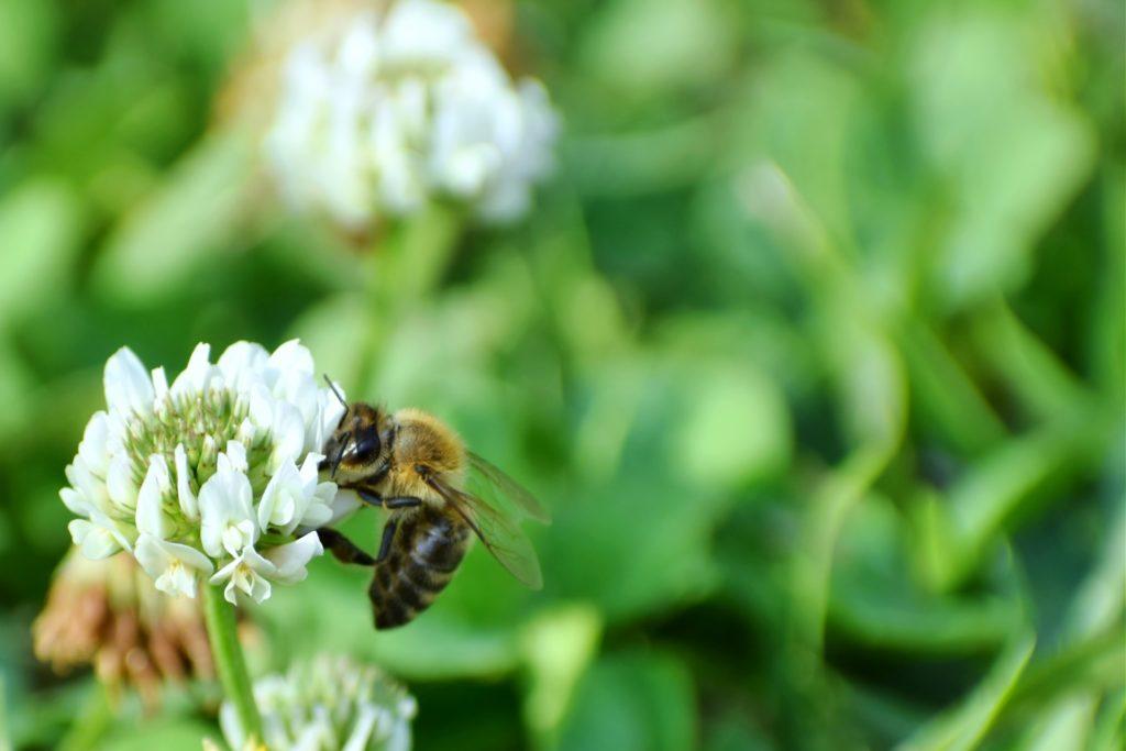 蜜を集めるニホンミツバチ