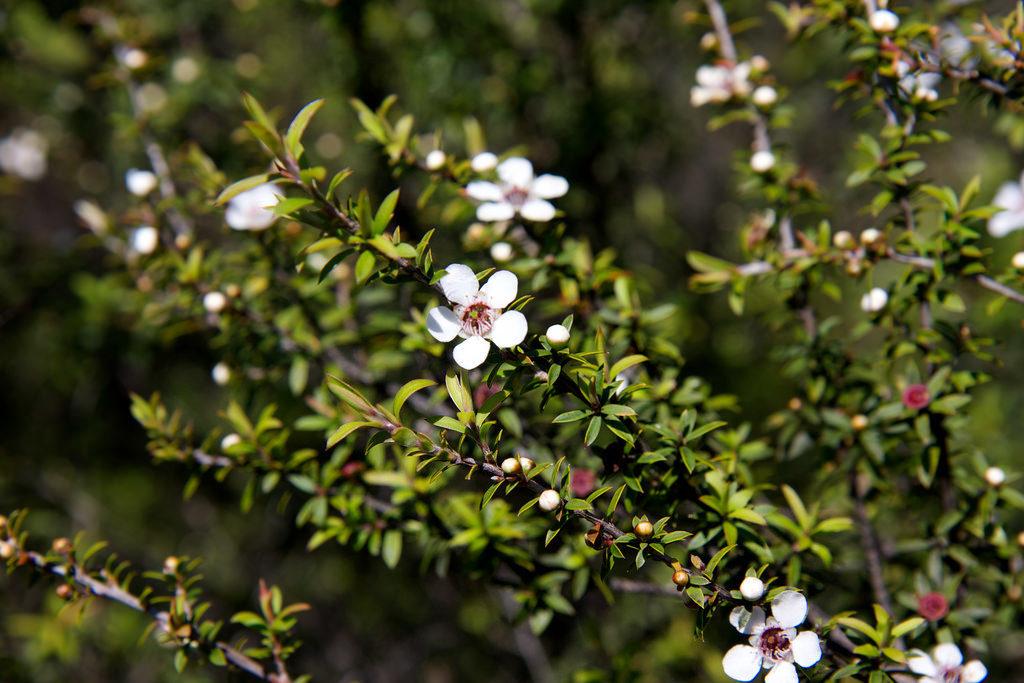 天然のマヌカの花