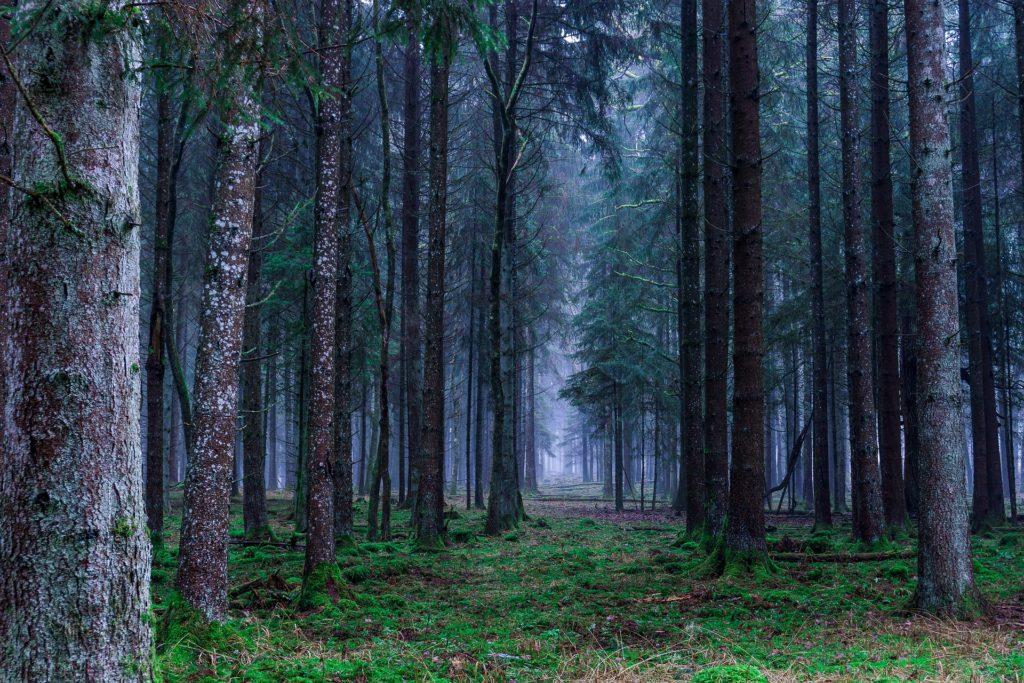 モミの木の森