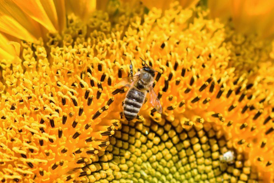 ひまわりの蜜を集めるミツバチ