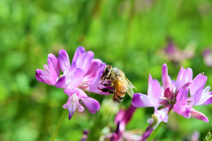 れんげの花とミツバチ