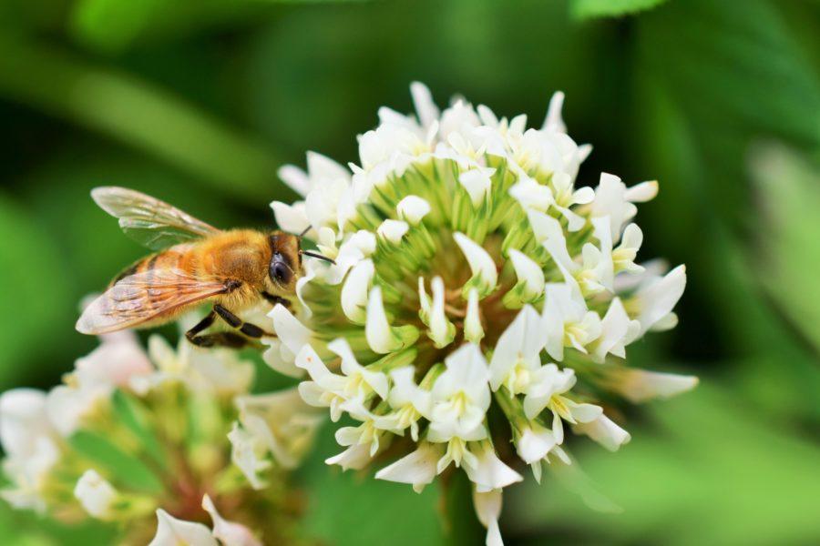 クローバーの花とミツバチ