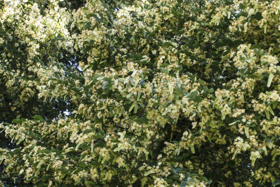 咲き乱れる菩提樹の花
