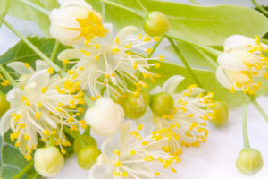 菩提樹(リンデン)の花