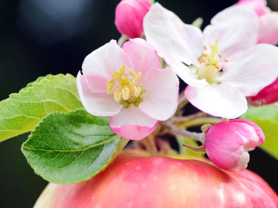 りんごハチミツアイキャッチ
