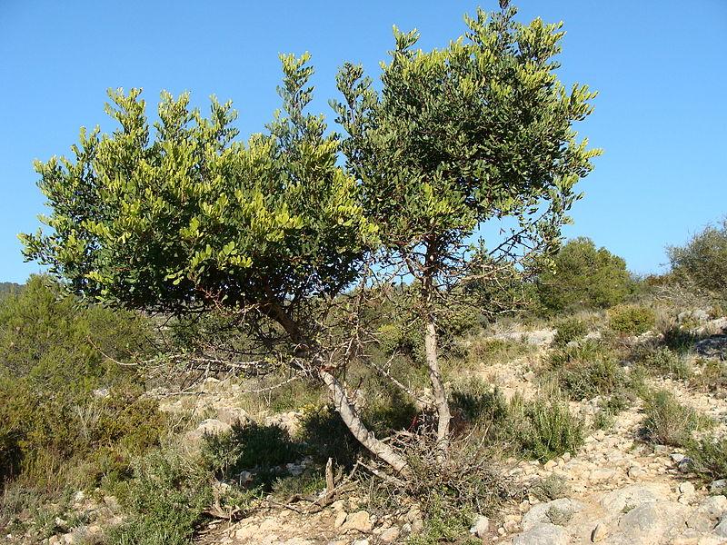 アルゴローボの木