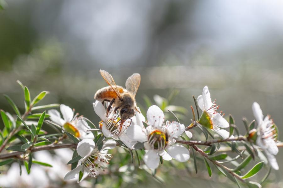 マヌカの花から蜜を集めるミツバチ