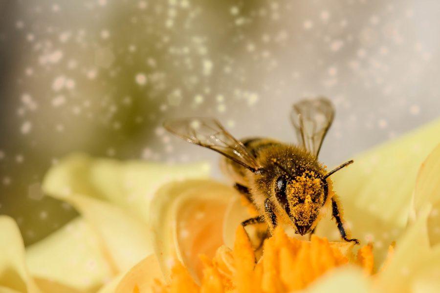花粉まみれのミツバチ