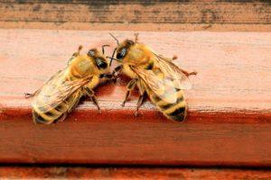 2匹のミツバチ