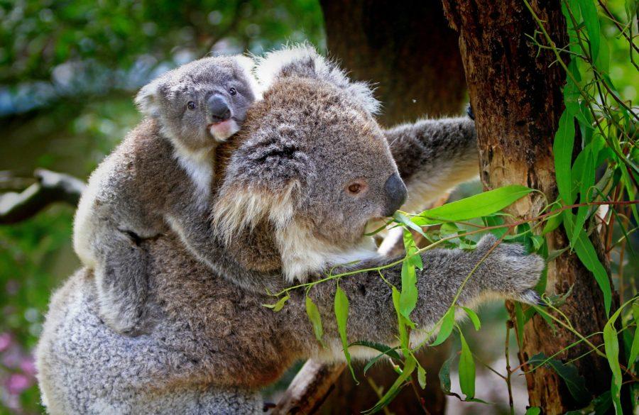 オーストラリアのイメージ(コアラ)