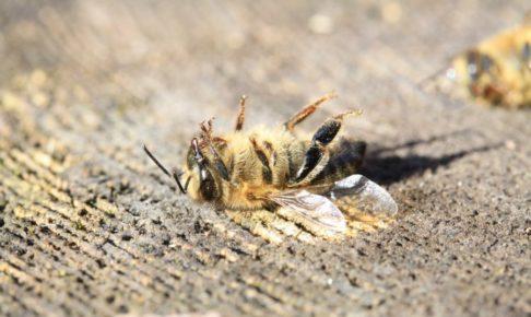 力尽きたハチ