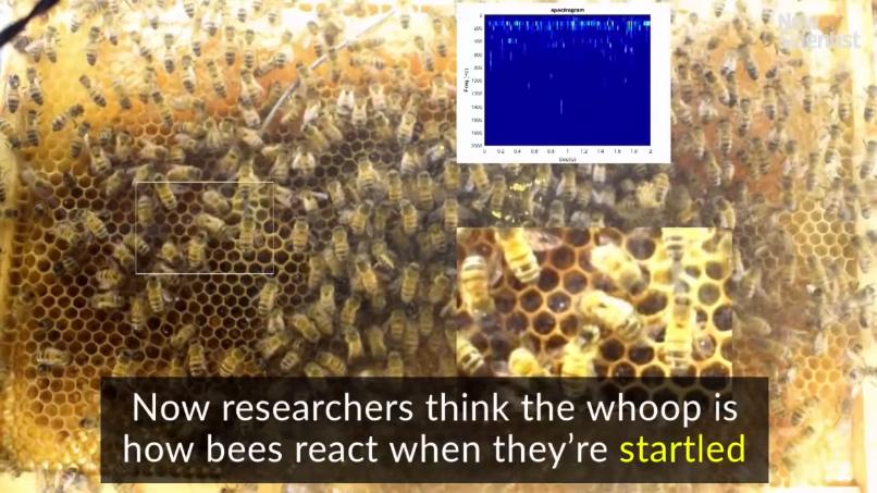 ハチが出す音の動画字幕(解説6)
