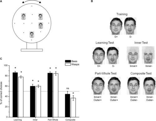 ハチのヒト顔識別実験