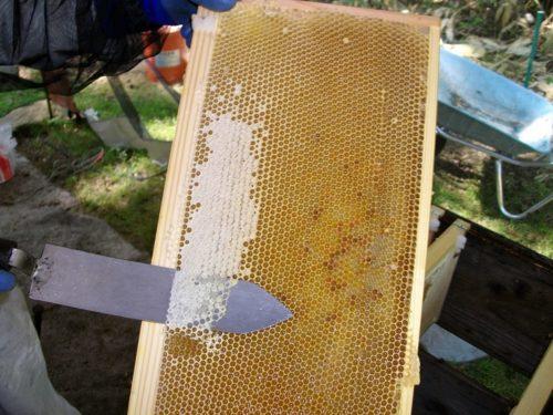 フタを切り取ってハチミツを採る様子